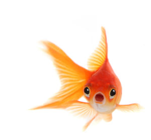 Goldfish Attention Span in Marketing